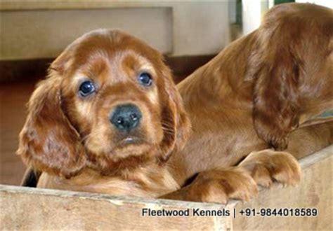 irish setter dog for sale in india irish setter puppies fleetwood kennels fleet wood