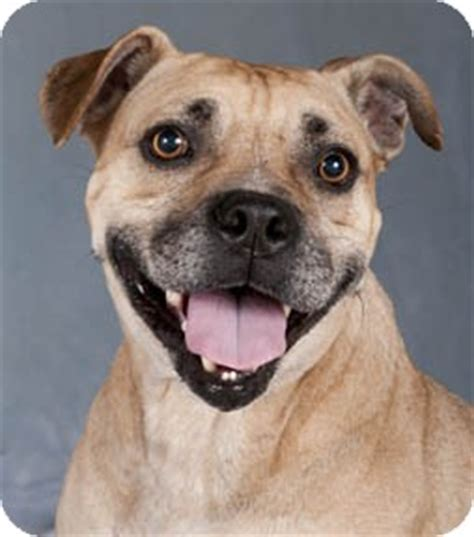 pug mixed with pitbull pebbles adopted chicago il pit bull terrier pug mix