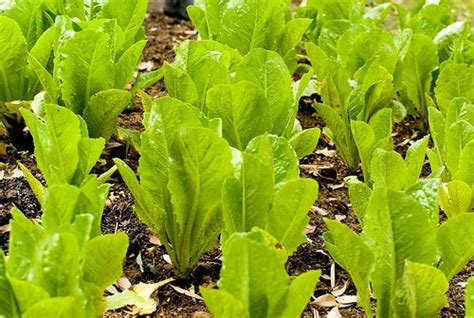 grow romaine lettuce gardening channel