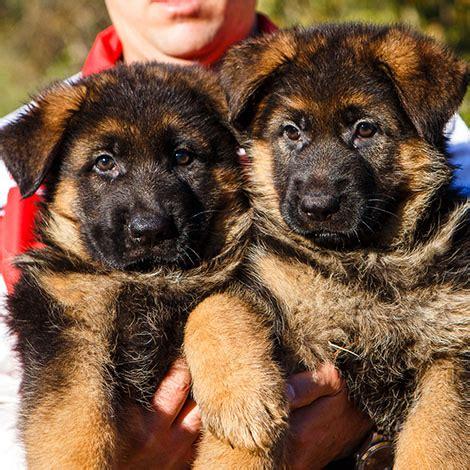alimentazione pastore tedesco 5 mesi allevamento co ai lupi cura e alimentazione