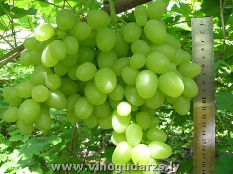 arcadia table grape variety