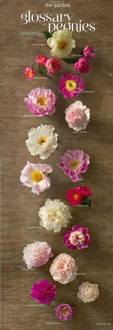 peony types floral peony pinterest
