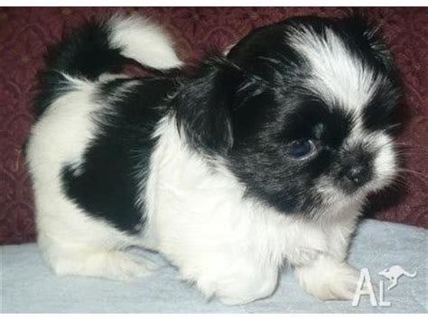 shih tzu puppies for sale australia shih tzu puppies for sale in cheap breeds picture