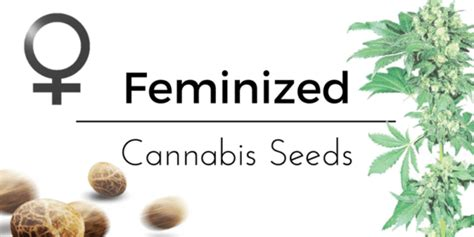 marijuana seed bank usa feminized cannabis seeds no plants