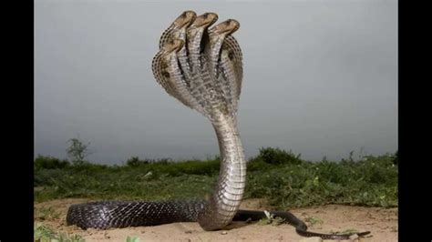 Is Headed For by The Proof Of Five Headed Snake
