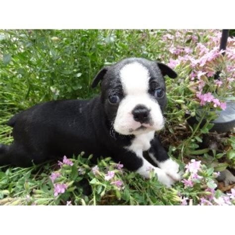 boston terrier puppies oklahoma s boston babies precious pugs beautiful bugg s boston terrier breeder in