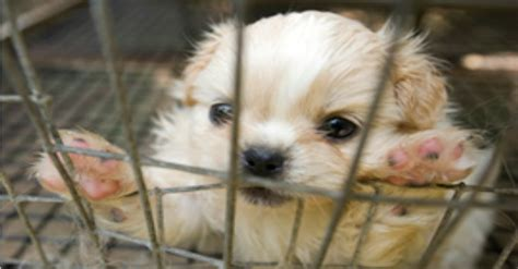 pet stores in pa that sell puppies 100 horrible puppy mills in the u s get exposed by the humane society