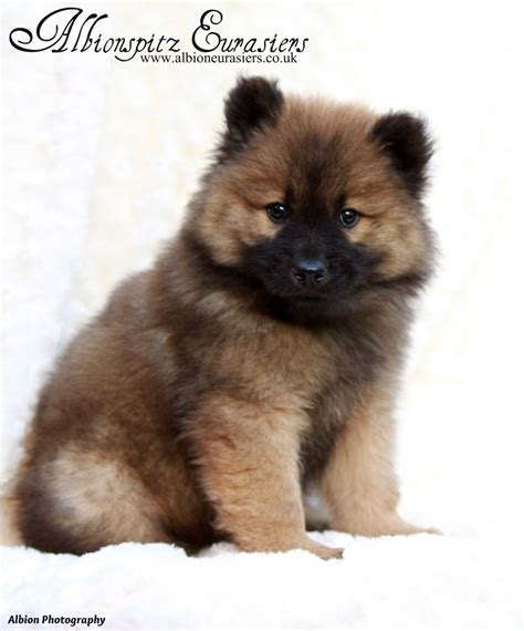 eurasier puppies for sale beautiful eurasier puppies hornchurch essex pets4homes