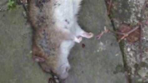Ratten Im Garten Bekämpfen 2156 by Ratten Erfolgreich Im Garten Quot Bek 228 Mpfen Quot