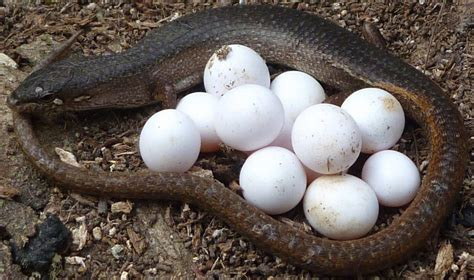 Garden Snake Laying Eggs Lizards Survival Instincts Even Before They Are Born