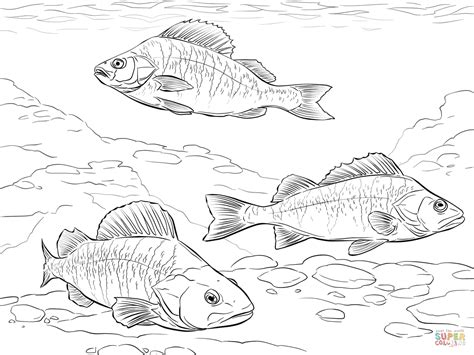 walleye coloring page