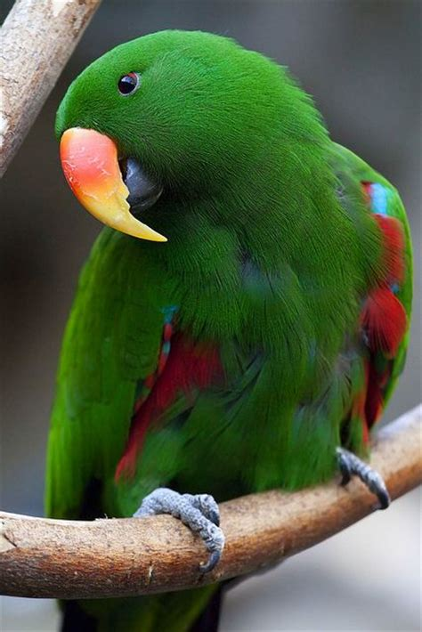 male eclectus parrot beautiful birds pinterest