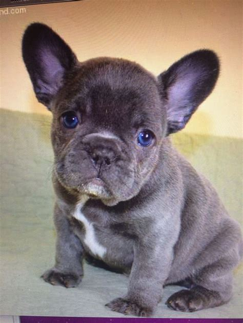 blue frenchie puppy blue bulldog i want a pet like these