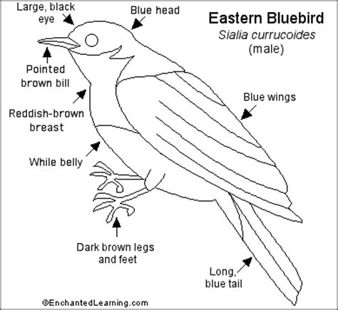 eastern bluebird coloring page eastern bluebird printout enchantedlearning com