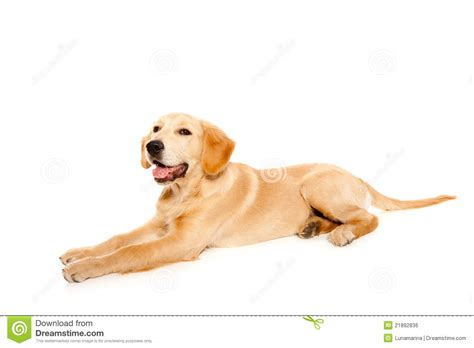 purebred golden retriever puppy golden retriever puppy purebred royalty free stock image image 21892836