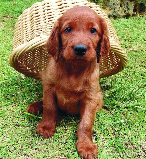 setter dog baby irish setter puppy country western pinterest