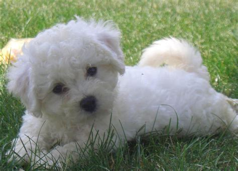 bichon puppies bichon frise dogs breeds pets