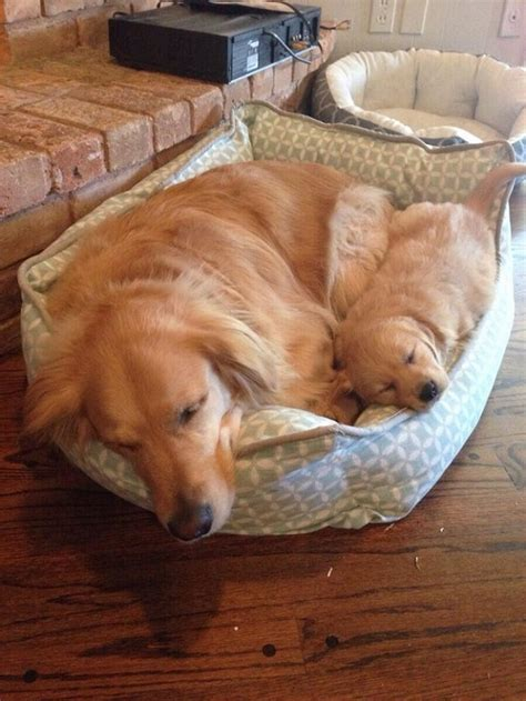 sleeping golden retriever 25 reasons golden retrievers are actually the worst dogs to live with