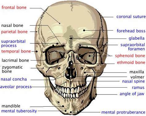 printable flash cards anatomy anatomy physiology skin skeletal system flashcards