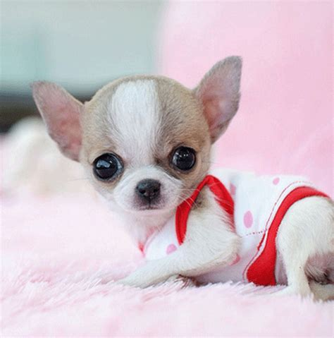 smallest breed in the world smallest breed in the world