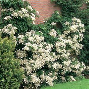 planting climbing hydrangea 301 moved permanently