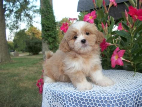 free puppies on island teddy puppies available in new york on island teacup and teddy
