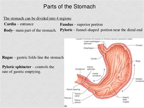 sections of the abdomen organ pancreas location in body location of pancreas in