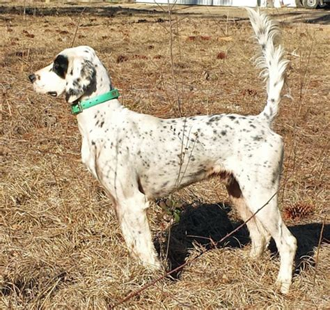 bird dogs for sale dogs for sale puppies finished bird dogs started html autos weblog