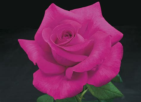 weeks roses introduces seven new rose varieties for spring
