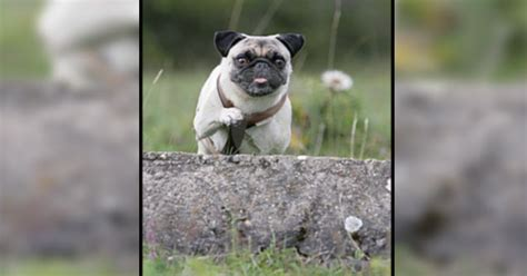 jumping pug oscar the pug misses the jump ebaum s world