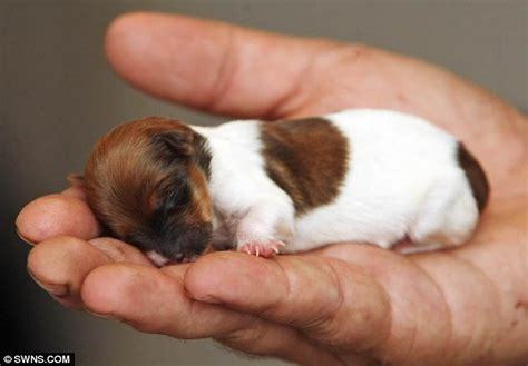a baby puppy micro puppy named miracle 187 gagdaily news