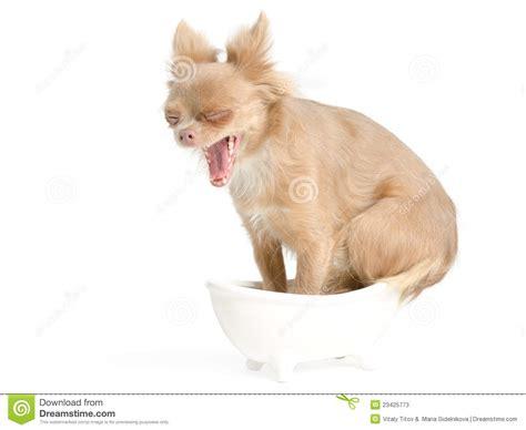 dog in bathtub dog in bathtub yawning stock photos image 23425773