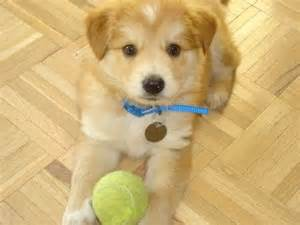 golden retriever chow chow golden retriever husky mix breeds picture