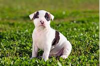 Photos The American Staffordshire Terrier Pictures Of Puppy Dogs