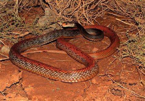 Minyak Ular paladin minyak ular