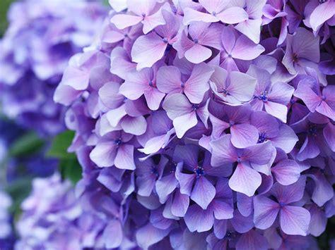 significato dei fiori ortensia l ortensia donna moderna
