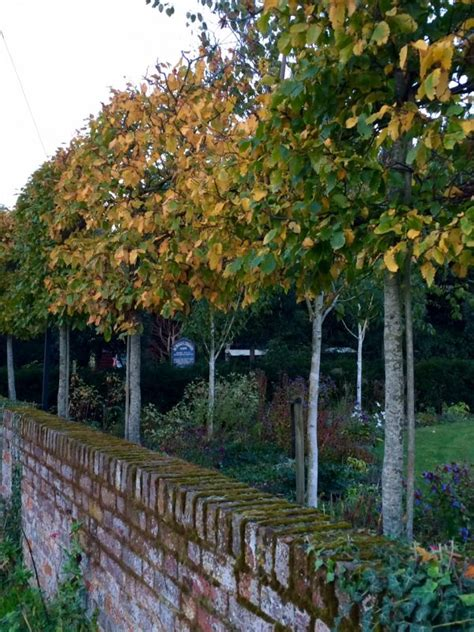 tall slim trees for small gardens uk all the best garden