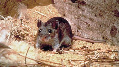 come eliminare i ratti dal giardino come eliminare i topi dal pollaio senza ucciderli o ferirli
