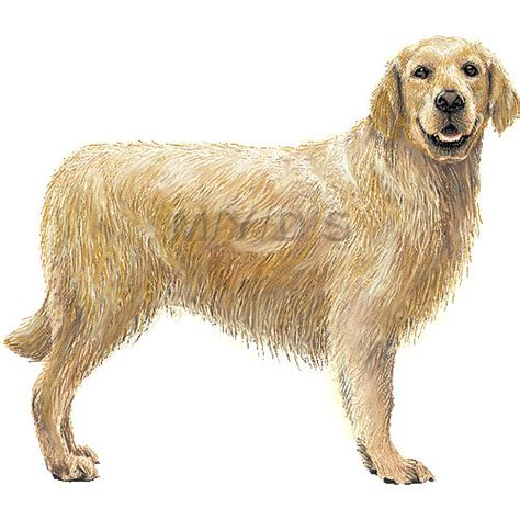 golden retriever clip golden retriever clipart clipart suggest
