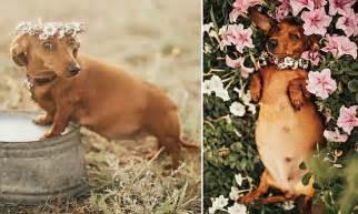 vicki miller stages maternity shoot  pregnant dog cindi