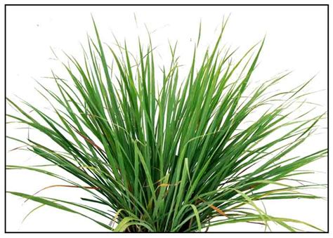 Grass Medicinal Uses by Tanglad Andropogon Citratus Lemon Grass Philippine