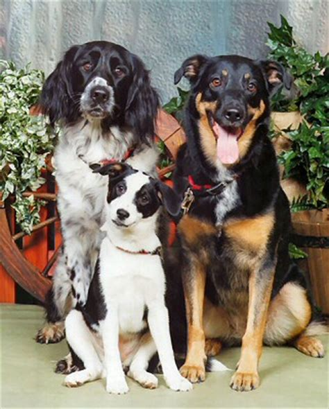 my three dogs dianne s home page the dogs page