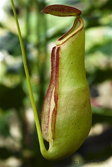 Kantong Semar kantong semar genus nepenthes flickr photo
