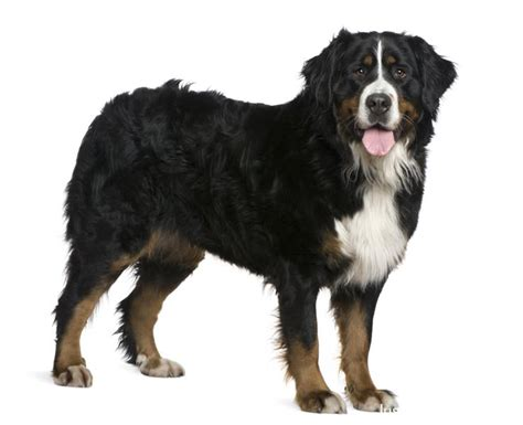 pictures of bernese mountain dogs bernese mountain dog5 jpg bernese mountain breeds