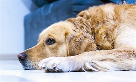why do puppies cry can dogs cry and do they cry from emotions pet guardian of america