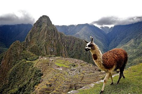 lua the llama and the mountain of books the secret to machu picchu s success llama science
