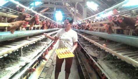 Bibit Ayam Petelur Di Bali nusabali peternak ayam petelur di banjar utu terus