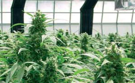 lade marijuana coltivare indoor con lade per coltivazione indoor lade