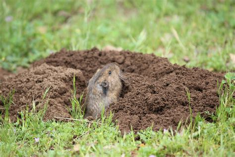 gopher in backyard how to get rid of moles and gophers in your yard without