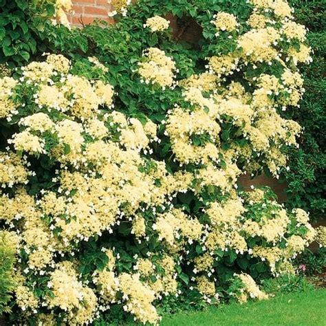 bl 252 hende kletterpflanzen winterhart mehrj 228 hrig - Blühende Kletterpflanzen Winterhart Mehrjährig